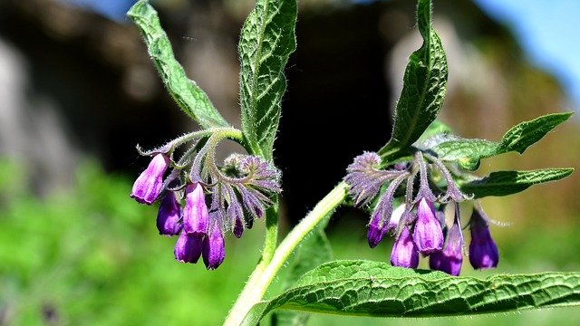 rostlina kostivalu