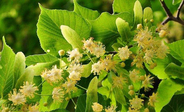 lipové květy
